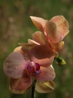 Coral-Coloured Orchid 03 by botanystock