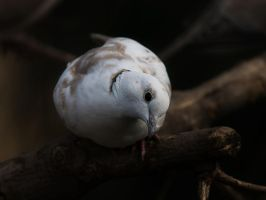 Curious Dove by InayatShah