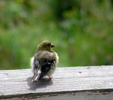 Baby American Goldfinch Alone by JocelyneR