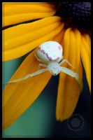 Girly Spider by dogukan