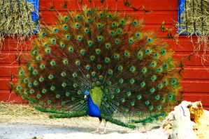 Peacock In Full Color by averyskees