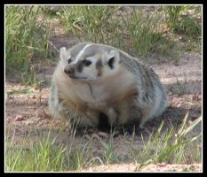 Badger Badger Badger by Xwinger
