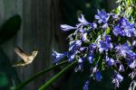 Hummingbird and blue flowers by arthero12