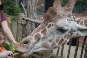 Giraffe Closeup by MistyBlue2010