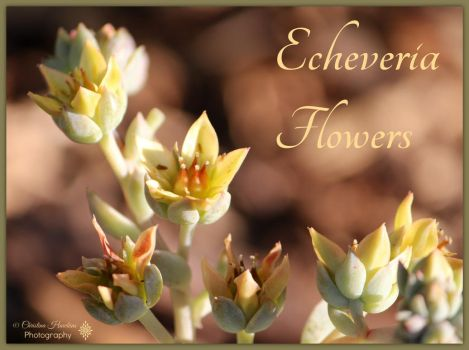Echeveria Flowers by bast4cats