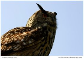 Mighty European Eagle Owl by In-the-picture