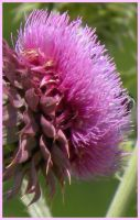 Purple Thistle II by SuicideBySafetyPin