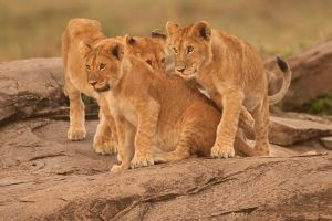 African Lion 62 by catman-suha