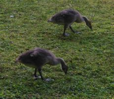 Geese by AlissaDStock