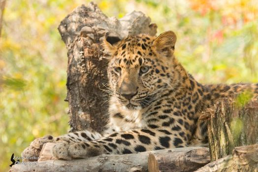 Leopard 2 by EdgedFeather