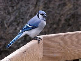 blue jay by Nipntuck3