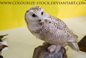 Owl 2 by Colourize-Stock