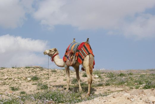 Camel by chickapea17