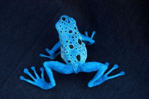 Blue poison dart frog by hontor