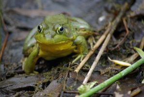 Green Frog by Lokwa