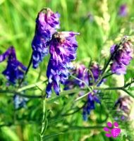 Tufted Vetch (12.07.13) by LacedShadowDiamond