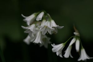 Allium white by langeboom