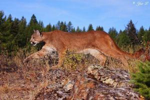 mountain lion on the prowl by Yair-Leibovich