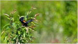 Red Winged Blackbird Of Spring by ThisWomanWanders