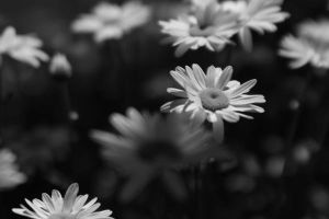 More Daisies by mstargazer