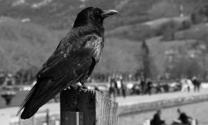 Crow black and white by lhauert
