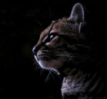 Margay by Henrieke