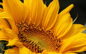 Sunflower by adico7