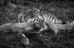 Tiger, Pilsen VI by FGW-Photography