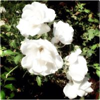 White Rose Cluster by technohoot
