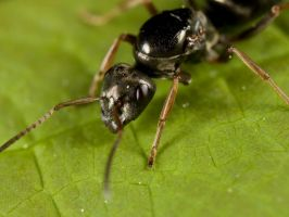 Ant Macro by Twitch1977