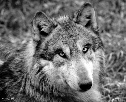 WOLF STARE by Yair-Leibovich