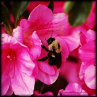 Bee-u-tiful Azaleas... by LadyAliceofOz