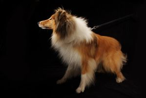 Rough Collie 1 -9 by Photoburner