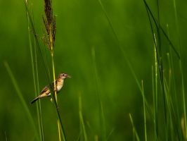 Chirping In The Reeds by InayatShah