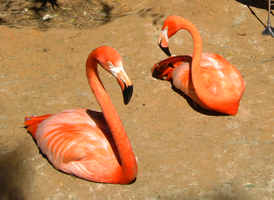 Flamingos at the zoo by mrskupe