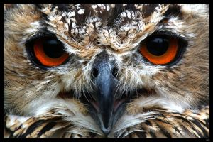 bengal eagle owl by netbandit