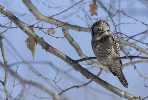 Northern Hawk Owl II by Tucky13