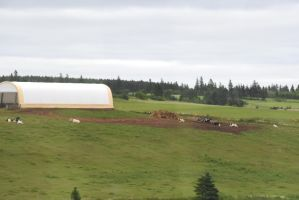 Cows In the Field, Prince Edward Island by Miss-Tbones