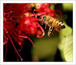 Bottlebrush Bee by MrStickman