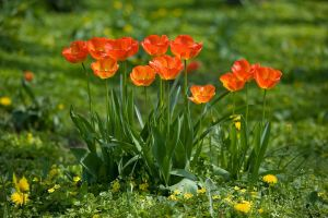 Red Tulips by ChristophGerlach
