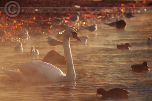 Swan in morning light by cpg785