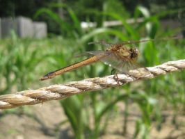 Dragonfly Close-up by ChaosToGlory