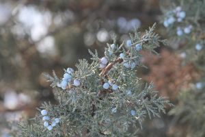 Juniper berries by KickingBird97