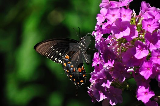 Swallowtail on the Phlox by beautythroughalens