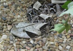 Gaboon Viper- Little Rock Zoo by ladybeastcharmer