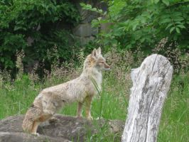 Corsac Fox by Cervelet