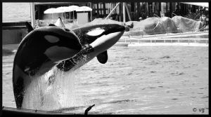 Orcas by vinc-photography