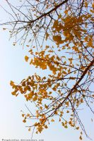 Ginkgo tree by Sophie-Y