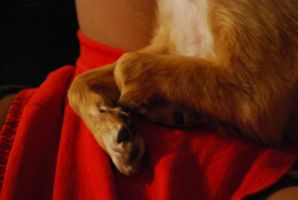long-haired chihuahua 4.2 - curled up paws by meihua-stock