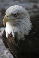 American Bald Eagle by MicWits101